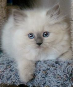 Blue Point Ragdoll K Ragdoll Cat Ragdoll Kitten Ragamuffin Kittens