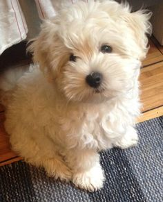 Teddybear pup (shih tzu and Bichon) Teddy Bear Puppies, Havanese Puppies, Cute Dogs And Puppies, Baby Puppies, Baby Dogs, I Love Dogs, Shipoo Puppies, Doggies, Cute Funny Animals