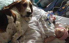 Devoted Basset Hounds Comfort 5 Month Old Girl In Her Last Few Days Of Life