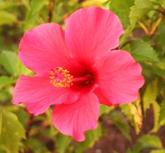 Гибискус на фото, картинки гибискуса разных цветов