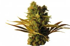 CBD Hammer Shark Feminised Seeds