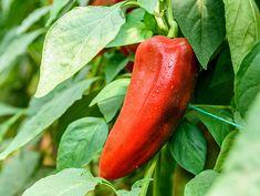 Jako opora pro papriky postačí kůly a provázky