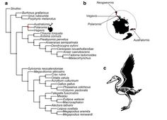 The fossil record of Late Cretaceous–Paleogene modern birds in the Southern Hemisphere is fragmentary.  It includes Neogaeornis wetzeli from Maastrichtian beds of Chile, Polarornis gregorii and Veg…