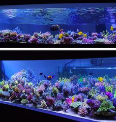 Fantastic shallow reef layout for SPS. The relatively uniform height and closeness to the bottom of the tank makes for a unique view of the fish swimming above the densely packed reef. - K.