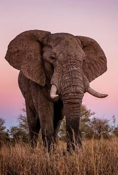 Here's a fun elephant fact for ya! Did you know that elephant brains weigh 5 kg, much more than the brain of any other land animal. Elephant Brain, Elephant Facts, Elephant Images, Elephant Pictures, Elephants Photos, Save The Elephants, Baby Elephants, Indian Elephant, Elephant Love
