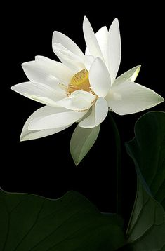 Flower power - White Lotus Flower and the leaf White Lotus Flower, White Flowers, Amazing Flowers, Beautiful Flowers, Jolie Photo, Amazing Nature, Flower Art, Flower Power, Planting Flowers