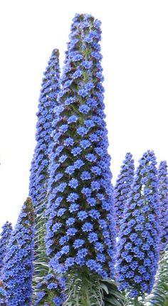 Echium webbii ~ grows on the island of La Palma.