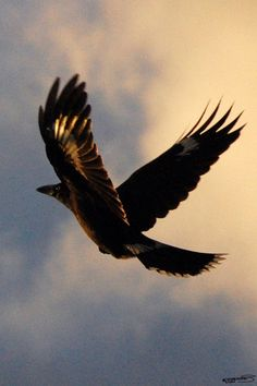 currawong flying - Google Search