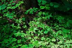forest bushed - Bing Images Wood Sorrel, Solomons Seal, Forest Plants, Shrubs, Perennials, Bing Images, Leaves, Flowers, Vanilla