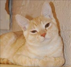 String BeanDomestic Short Hair • Young • Male • Small San Gabriel Valley Humane Society San Gabriel, CA He  and his brother arrived at the shelter as young kittens. Veggie has since gotten adopted and String Bean is patiently waiting..