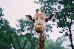 .. giraffe ..