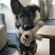 Wicked Training Your German Shepherd Dog Ideas. Mind Blowing Training Your German Shepherd Dog Ideas. Cute Dogs And Puppies, I Love Dogs, Toy Puppies, Beautiful Dogs, Animals Beautiful, German Shepherd Puppies, German Shepherds, Australian Shepherd Mix, Rottweiler Puppies