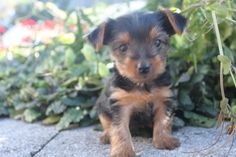 Yorkshire Terrier Puppies For Sale  717-438-3156  These puppies are family raised and come with their shots and worming. We have several years experience in breeding yorkies so please call if you have any questions   http://clearlyinternet.com/dogsclass/yorkshire-terrier-puppies-for-sale-717-438-3156/
