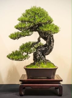 Pine Bonsai by JP Polmans #bonsai
