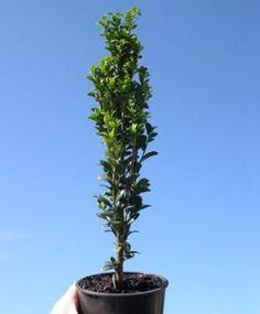 Miniature Garden Sky Pencil Japanese Holly - Ilex crenata 'Sky Pencil' look like full-sized Italian Cypresses in mini