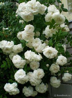 Heritage Rose, White Gardens, Garden Roses, Photographs, Bed, Flowers, Gardens, Stream Bed, Photos