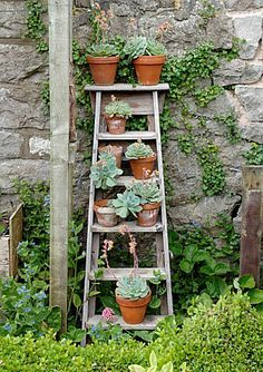 POTS OF ECHEVERIA ELEGANS ARRANGED ON OLD STEPLADDER