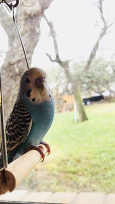 This is Red, Fresh out of the pet store! We bought 2 Male Budgies and they're doing great! I'm hoping they'll get used to their new home soon. Budgie Parakeet, Budgies, Cockatiel, Animals And Pets, Cute Animals, Birds For Kids, Australian Parrots, The Caged Bird Sings, Little Kittens