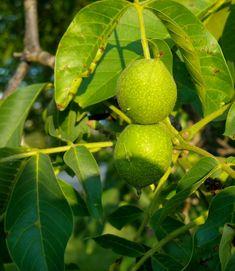 Fruit, Gardening, Food, Aromatherapy, Lawn And Garden, Essen, Meals, Yemek, Eten