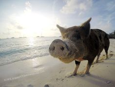 Pig Beach, Bahamas & Sailing With Pirates – Sailing Part 2 - http://www.celebritydachshund.com/2014/04/23/pig-beach-bahamas-and-pirates/