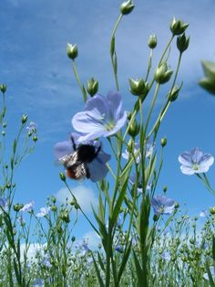 Flax flower and bee