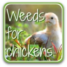 Identifying weeds for chickens: detailed descriptions with photos. Chicken Feed Diy, Chicken Eating, Chicken Garden, Chicken Treats, Canned Chicken, Healthy Chicken, What Can Chickens Eat, Herbs For Chickens, Laying Chickens