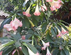 Florecen en mi tierra guaraní  Alegran  a las ventanas del alma Asunción, Paraguay  Corazón de América  del Sur