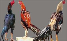 Agen Sabung Ayam Online - Click picture for more information