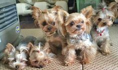 Yorkies./oh my, a whole lot of sweet