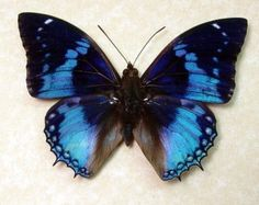 Real Framed Parides Nephalion Butterfly by REALBUTTERFLYGIFTS