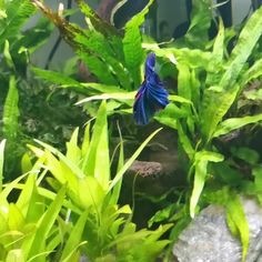 Betta's are beautiful fish that deserve the best environment to flourish., I'll show you the best betta fish tanks in the market today. Betta Fish Tank, Beta Fish, Fish Fish, Planted Aquarium, Aquarium Fish, Fish Tank Drawing, Cool Fish Tanks, Colorful Fish, Tropical Fish