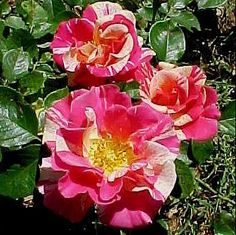 candy_land_climbing_rose