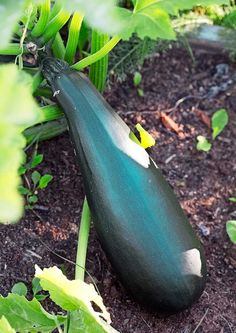 Vegetable Garden, Eggplant, Zucchini, Food And Drink, Vegetables, Drinks, Gardening, Zero Waste, Garden Ideas
