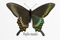 Tropical Swallowtail Butterfly, Papilio maackii, photograph by:  Darrell Gulin