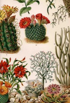 1894 cactus plants original antique desert botanical print. $30,00, via Etsy.