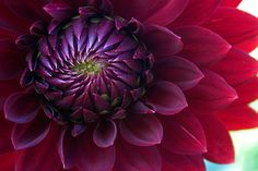 I must plant some dahlias!  (details: won't survive frosts, need full sun, if too dry and hot, need water, annual)