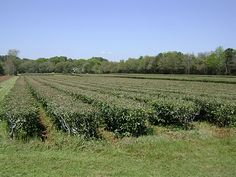 The Charleston Tea Plantation. This plantation is able to boast that they are the only ones to grow tea in America. It is home to American Classic Tea, under the company Bigelow Tea