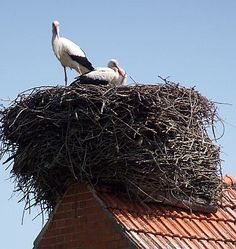 We are enjoying Wheel on the School so much and this is a good picture to show the kids a stock in a nest on a rook like in Holland.