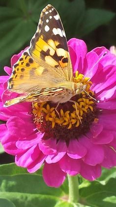 Dahlia Flowers, Roses, Bliss, Butterflies, Insects, Nature, Photography, Animals, Garden