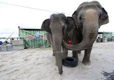 #Elefantas del #Circo #RinglingBros en la #AmericanAirlinesArena #TNxDE - http://a.tunx.co/Dj0f4