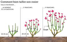 Pin now, translate later, pruning roses:  Comment bien tailler son rosier