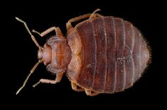 Bed-Bug Madness: The Psychological Toll of the Blood Suckers Signs Of Bed Bugs, Psychology Disorders, Suckers, Insects, Anxiety