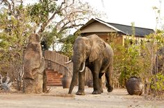 George II the elephant next to the main area at Azura Selous Maine, Wildlife, Elephant, In This Moment, Animals, Animales, Animaux, Animal, Animais