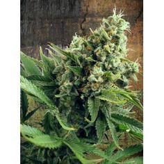 Auto White Widow, her majesty with an autoflowering jacket http://www.ministryofcannabis.com/autoflowering-seeds/auto-white-widow-feminized