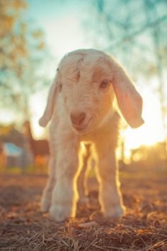 """This little lamb is melting my heart"" I did not say that before, but for who ever did this is a baby goat! Not a lamb haha"