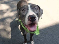 ~~BEAUTIFUL 14 MONTH OLD LITTLE GIRL TO BE DESTROYED -07/28/14~~lw~ Manhattan Center   My name is SOPHIA. My Animal ID # is A1007937. I am a female gray and white pit bull mix. The shelter thinks I am about 1 YEAR 2 MONTHS old.  I came in the shelter as a STRAY on 07/24/2014 from NY 10460, owner surrender reason stated was ABANDON.