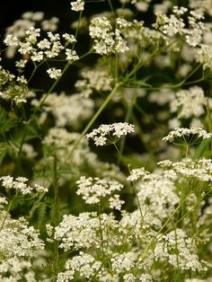 cow parsley chervil pointed flower herb flower