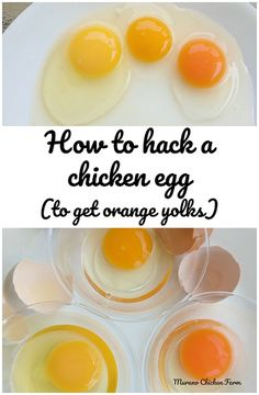 How to hack a chicken egg to get orange yolks! How to hack a chicken egg: for years chicken keepers have fed special diets to their chickens to get dark yellow yolks. I did an experiment with marigolds, here's my results. What To Feed Chickens, Keeping Chickens, Pet Chickens, Raising Chickens, Chickens Backyard, Chicken Treats, Healthy Chicken, Pvc Chicken Feeder, Chicken Coops