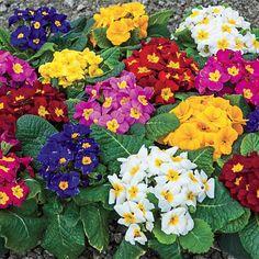 Full shade spring bloom Mixed Hardy Primrose At Spring Hill Nurseries
