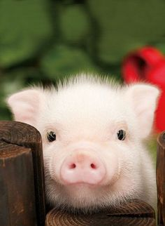 baby lucu Lovely a cute little pig - Se Tiere- Schne Ein ses kleines Schwein Lovely a cute little pig Cute Baby Animals, Animals And Pets, Funny Animals, Farm Animals, Nature Animals, Cute Baby Pigs, Baby Teacup Pigs, Teacup Pigs For Sale, Funny Looking Animals